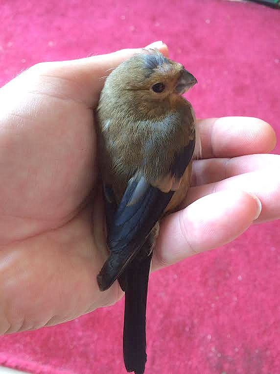 bullfinch juv