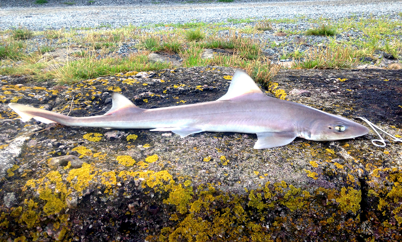 SMoothhound_LOW
