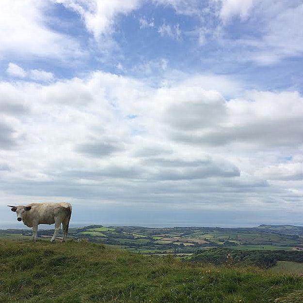 Eggardon cow